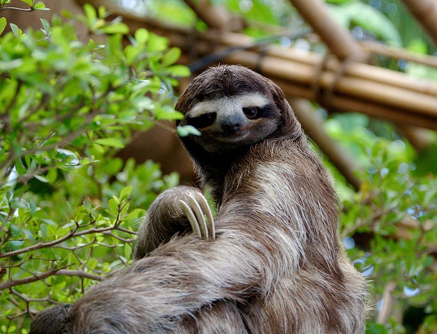 Slothful trends in evolution: from walking giants to tiny