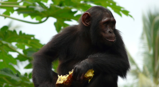 'Ngambe' - a Nigeria-Cameroon chimp rescued from illegal animal trafficking