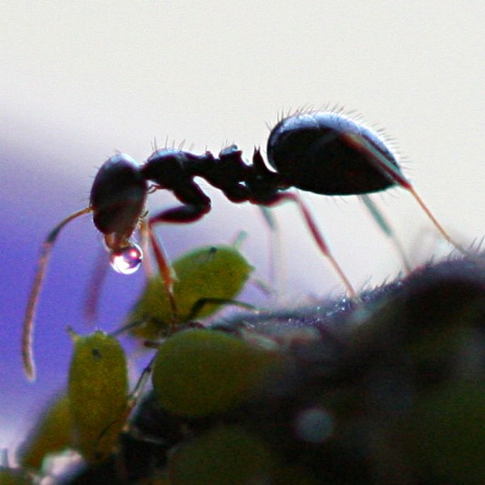 Self-medicating ant