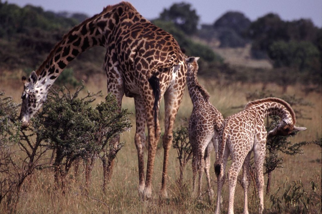 Mother giraffe and calves feeding.