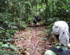 Pamela Heidi following the bonobos to collect data