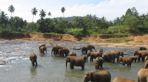 Elephants enjoying the river adjacent to The Pinnawala Elephant Orphanage in Sri Lanka, where they spend ~4 hours per day.