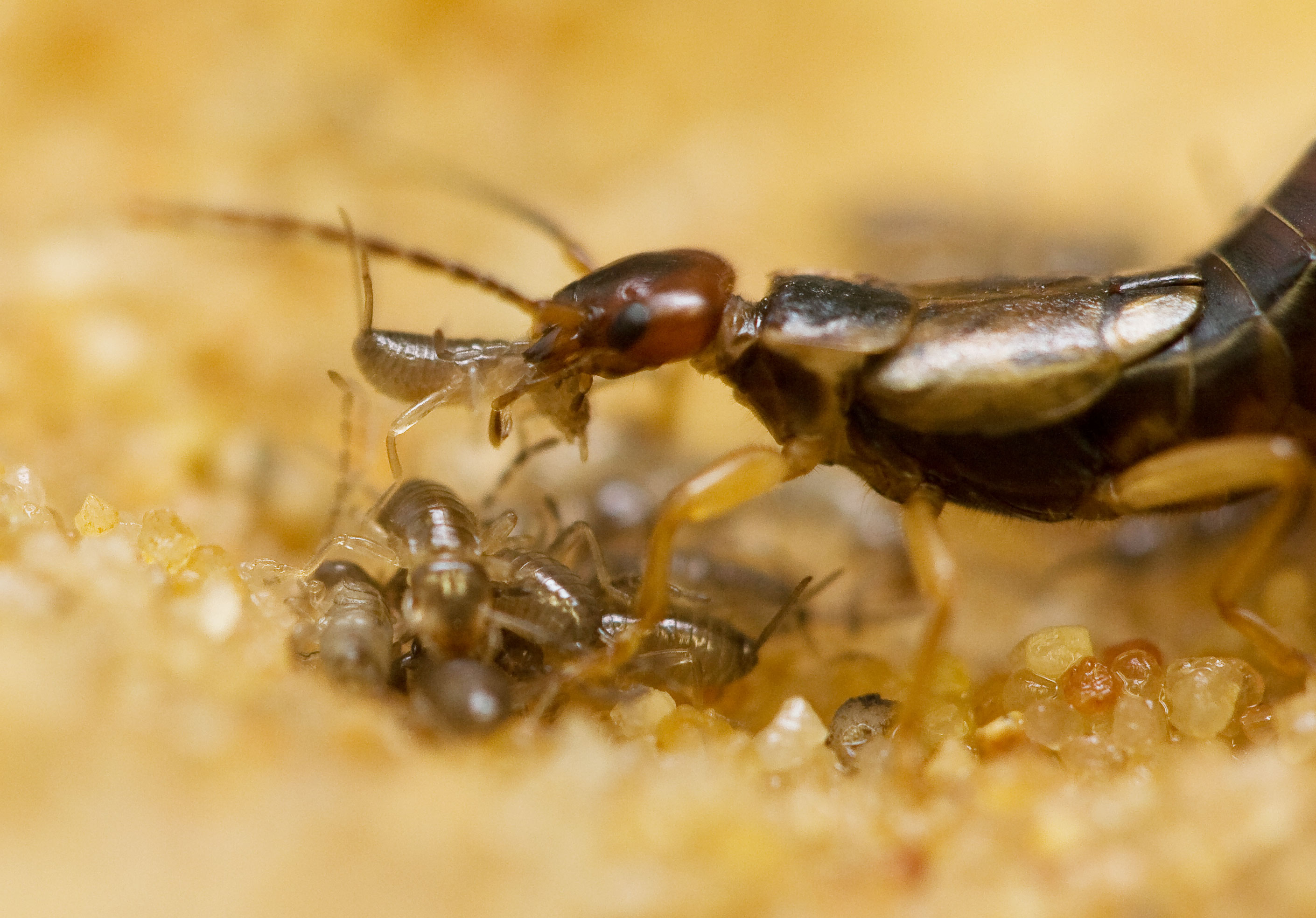 Earwig mother moving her nymphs