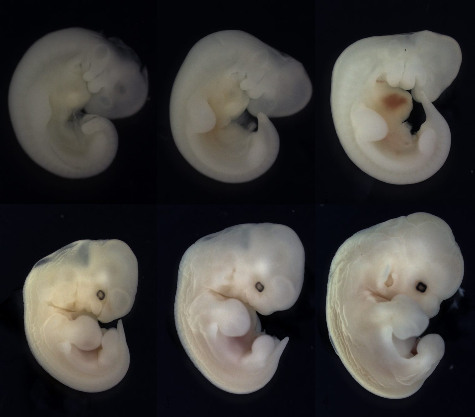 Erophylla sezekorni (Buffy flower bat) embryos from ridge, bud, paddle stages (top row). As development proceeds (bottom row), the digits condense in the developing fore- and hindlimbs. The interdigital tissue of the hindlimb will regress, leaving free toes, while the wing will retain this tissue.