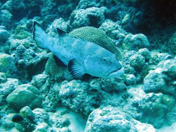 A male grouper, showing the scars from past battles, guards his territory.