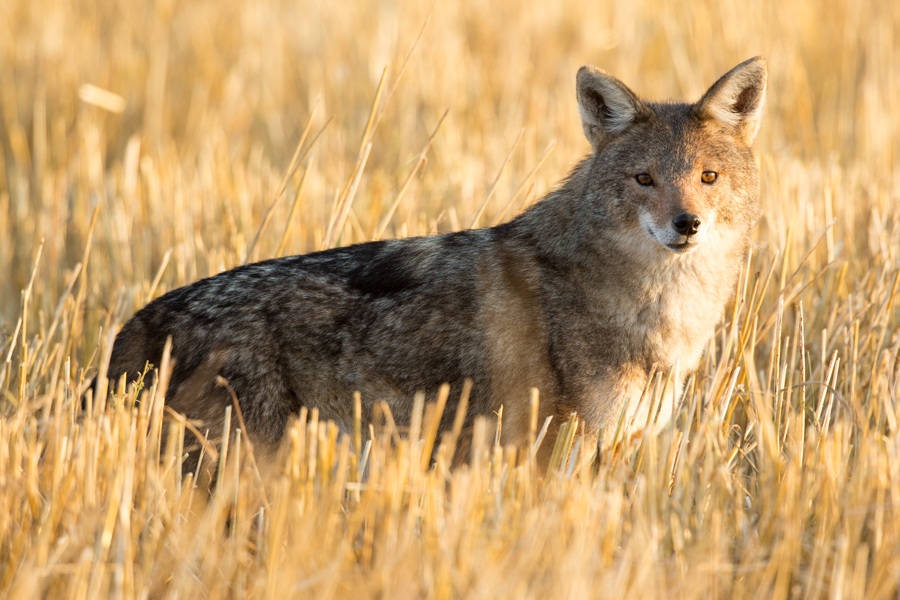 African wolf from the Bale Mountains, Ethiopia