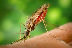 Mosquitoes boost their body armour