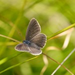 The Alcon Blue Butterfly image from www.greenwings,co