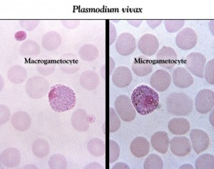 Plasmodium vivax female and male gametocytes