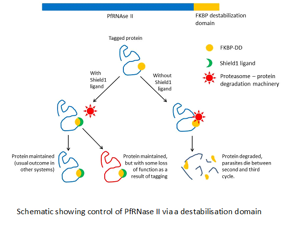 Schematic of PfRNase
