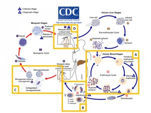 Figure 1: P. falciparum life-cycle, adapted from CDC information sheet available at http://www.cdc.gov/dpdx/malaria/index.html. A) Asexual blood stage parasites. B) Formation of gametocytes and transmission to mosquito vector. C) Sexual reproduction of gametes in mosquito. D) Transmission of Plasmodium sporozoites.