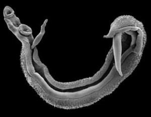 Scanning Electron Image of a Schistosome worm pair – Photo copyright NHM