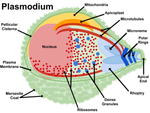 Plasmodium cell structure including the apicoplast. (Image: wikicommons)