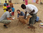 Caption: Collecting stool and urine samples from livestock. Photo credit Elsa Leger