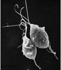 SEM of Trichomonas vaginalis. http://parasitol.kr/upload/pdf/kjp-51-243.pdf