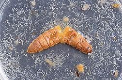 Entomopathogenic nematodes emerging from a wax moth cadaver. Source: https://commons.wikimedia.org/wiki/File:Waxmothcadaverusda.jpg