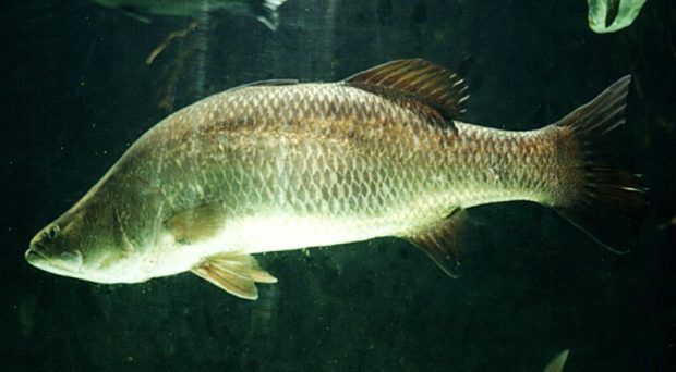 A Barramundi. Source Wikipedia commons