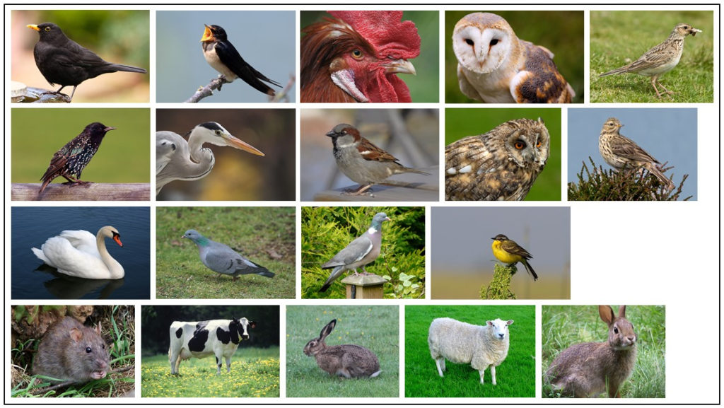 Vertebrate species identified as hosts for mosquito feeding. Top row (left to right): blackbird, barn swallow, chicken, barn owl, Eurasian skylark; second row: European starling, grey heron, house sparrow, long-eared owl, meadow pipit; third row: mute swan, stock dove, wood pigeon, yellow wagtail; bottom row: brown rat, cow, European hare, sheep, European rabbit. All images Creative Commons Licence, sourced from Wikimedia commons.