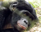 A bonobo's face looks at the camera.