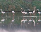 Flamingos feeding in the ponds of a salina in Figueira da Foz