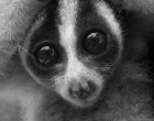 Javan slow loris, with arms raised in defensive stance