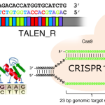 CRISPR, TALEN and ZFN methods for genome targeting (click to enlarge)