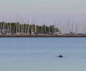 Porpoise close to harbour