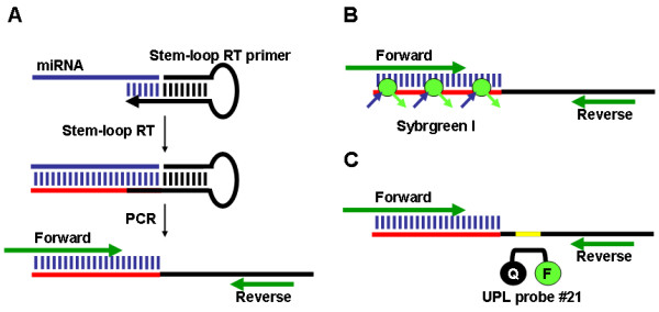 Illustration of PCR-based methods for detecting and quantifying microRNAs