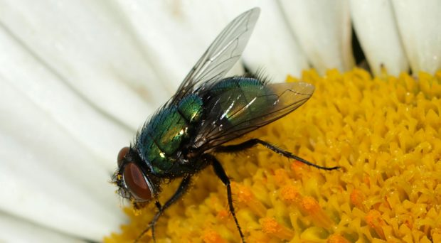 Common green bottle fly Lucilia sericata