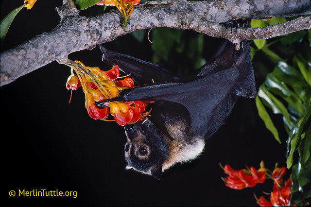 A spectacled flying fox (Pteropus conspicillatus).