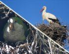 Monk parakeet and white stork