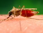 Photograph shows an anopheles minimus a malaria vector of the or