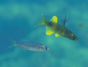 """Sailfin silversides, the subject of the first Axios reviewed research to be published in a BMC journal.This is a pelagic """"roundfin"""" species of the Lake Matano Telmatherina radiation. Like in other sailfin silversides, there are two distinct male colour morphs, being either yellow (this picture), or blue."""