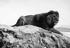 A Barbary lion (Panthera leo leo) from Algeria. Public domain.
