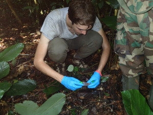 Collecting a fresh chimpanzee fecal sample in Lobeke National Park in southeast Cameroon.