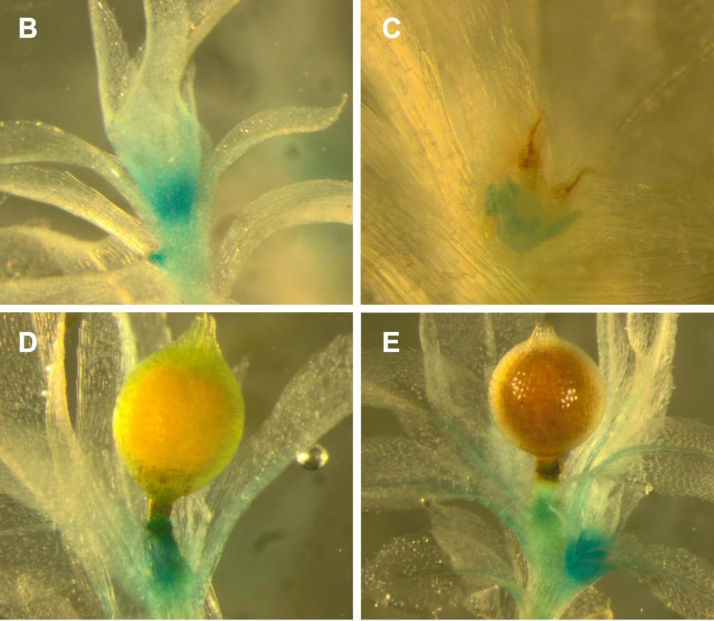 Hornblad et al 2013 BMC Plant Biology
