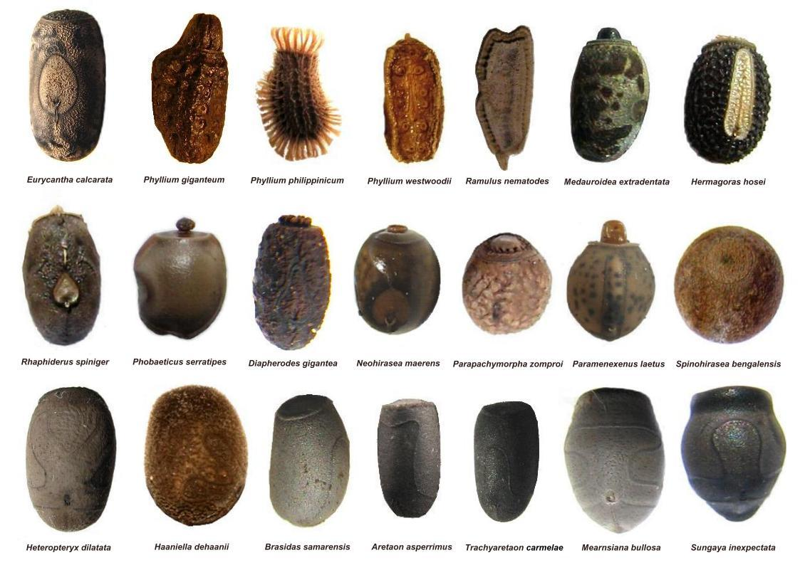 Examples of the diversity of modern day stick insect eggs. Some variant of these eggs made the long voyage from Australasia to the Mascarenes 20 million years ago.