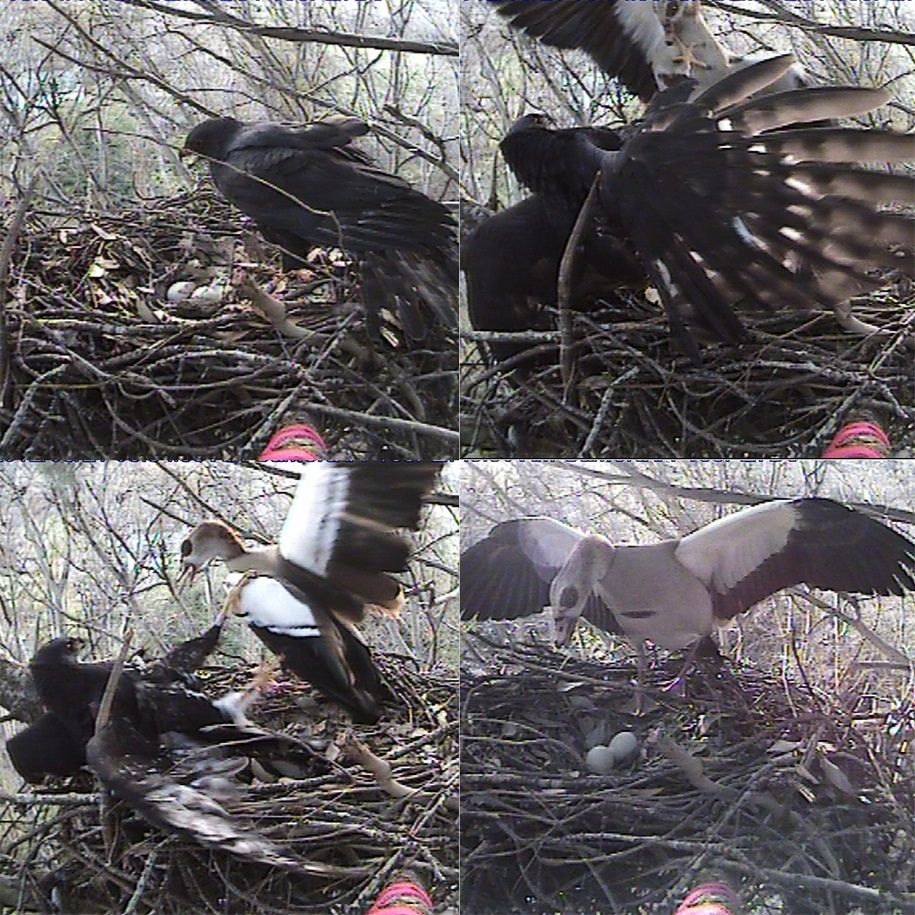 These images capture exactly the challenge a sparrowhawk faces when a goose wants to take its nest