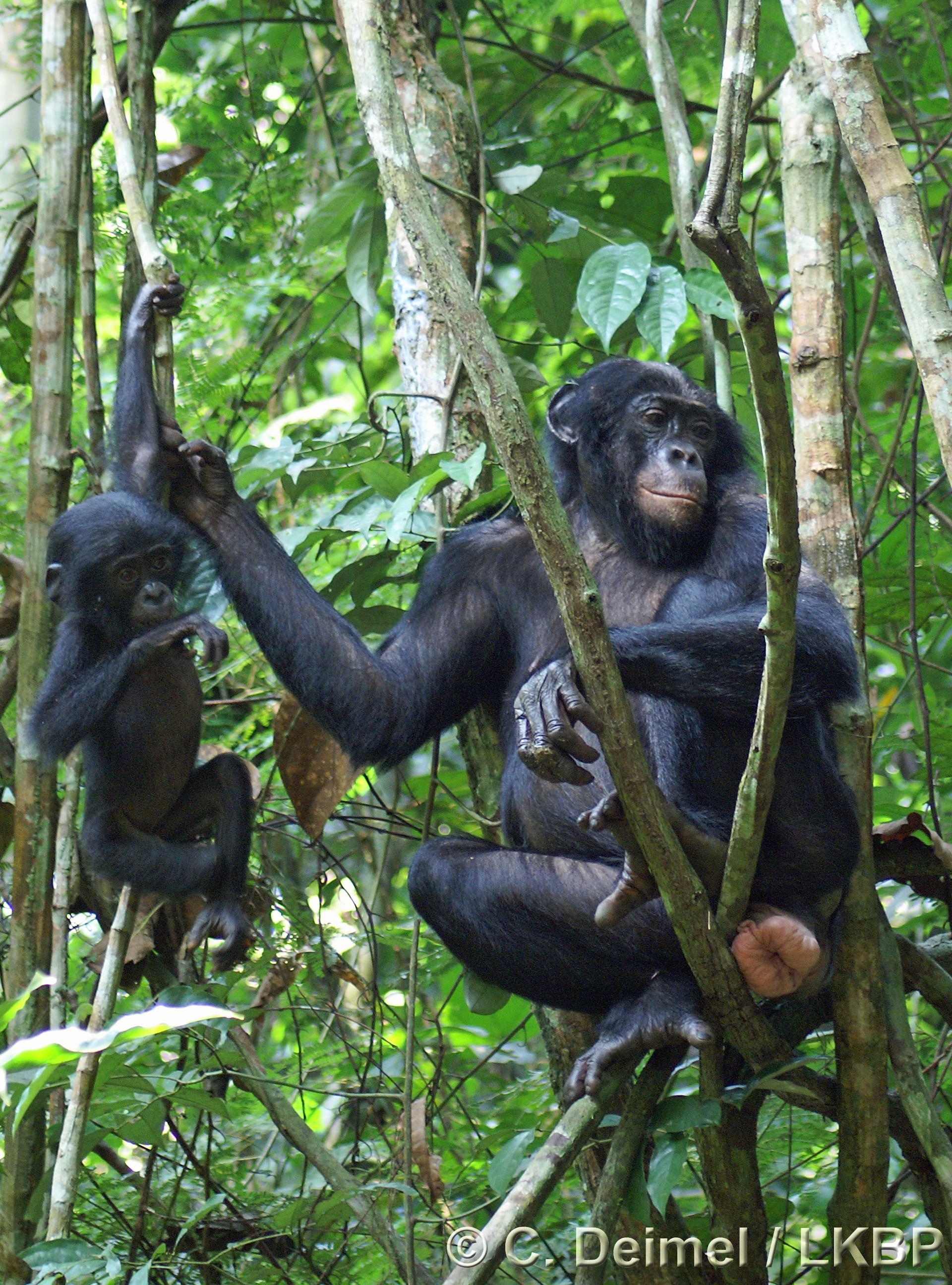 The Homo Bonobo Project Shelly Mars