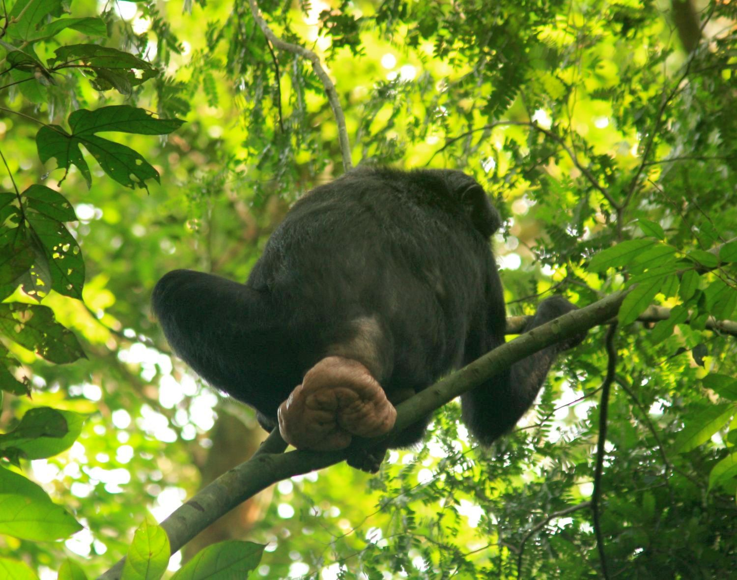 Female bonobo sexual swellings send mixed messages to males