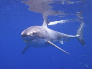 Great white shark (Elias Levy, Flickr, CC)