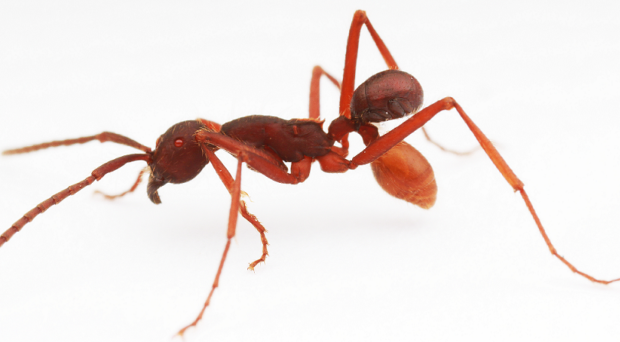 Beetle attached to army ant