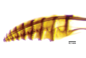An ovipositor, the morphological structure that cuts egg-bearing pockets, from an N. lecontei female.