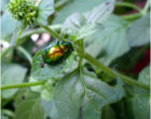 While feeding on watermint, the green mint leaf beetle metabolizes the plant terpenoids, which are biotransformed and eventually excreted with the frass.