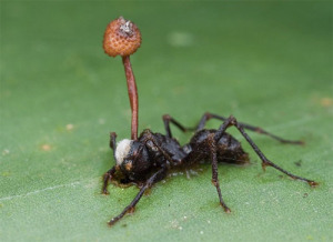 The Zombie-Ant Fungus. image from http://questionableevolution.com/2012/08/08/the-zombie-apocalypse-already-underway/