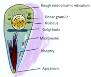 Diagram of Toxoplasma tachyzoite