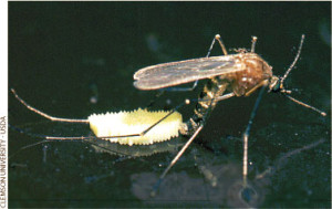 Culex pipiens laying eggs from http://peabody.yale.edu/exhibits/bloodsuckers/treatment