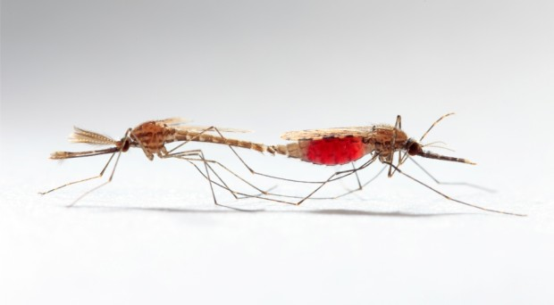 Mosquito sex and infection: benefits and costs - BugBitten