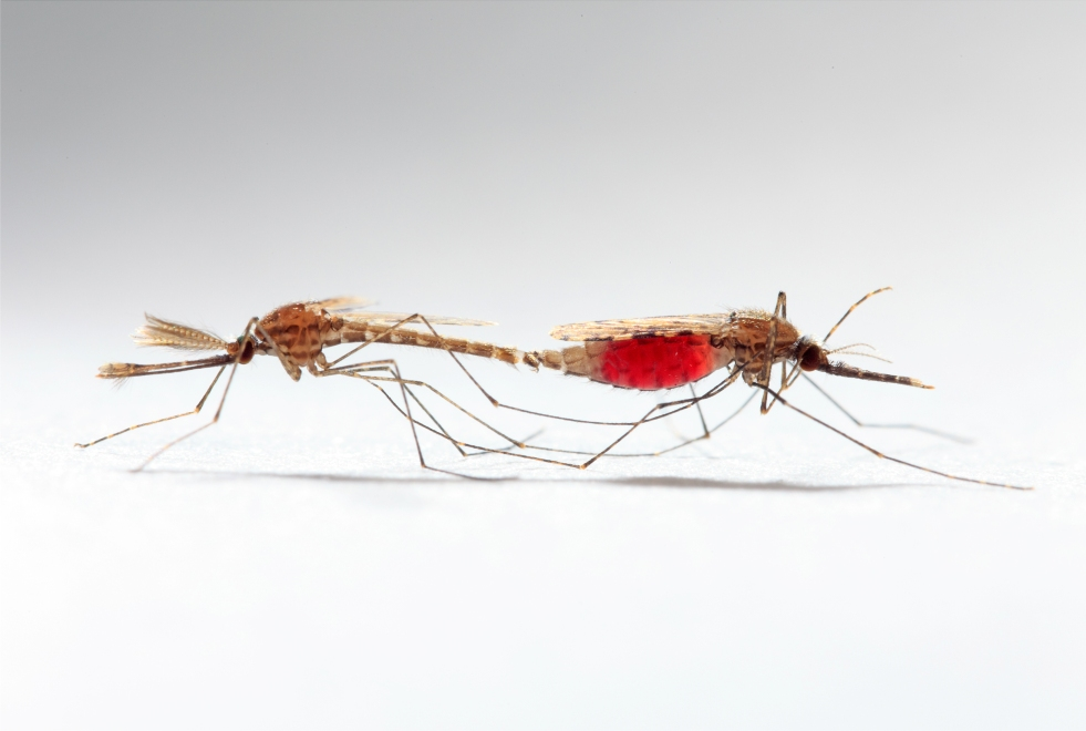 Mosquito Sex And Infection Benefits And Costs - Bugbitten-1085