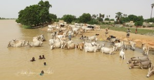 Caption: In Senegal, animals and humans share water sources. The control of zoonotic schistosomiasis may require implementation of a concurrent human and animal treatment programme. Photo credit Elsa Leger